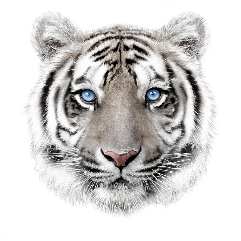 Hand-drawing portrait of a white bengal tiger royalty free stock photos