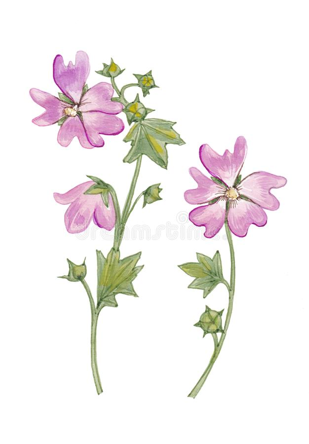 Watercolor botanical illustration of wild mallow. stock illustration