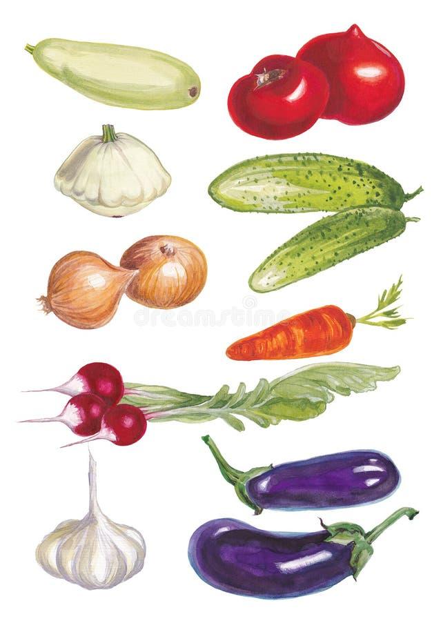 Watercolor  illustration set of vegetables. stock illustration