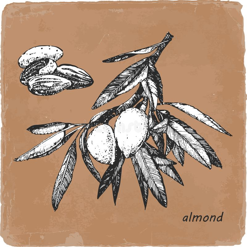 Hand-drawn απεικόνιση του αμυγδάλου διάνυσμα διανυσματική απεικόνιση