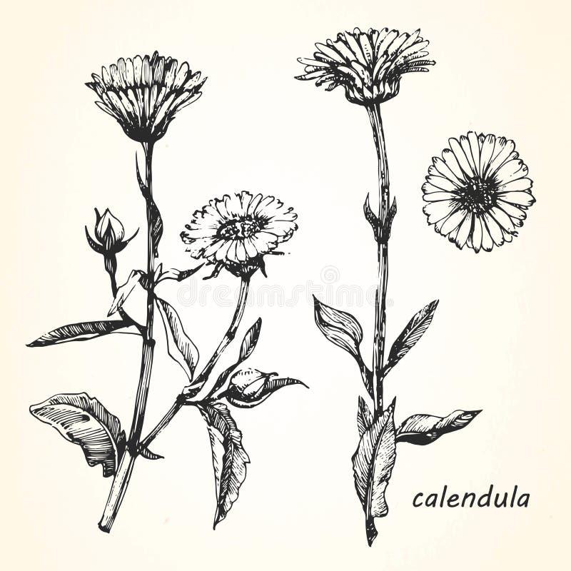 Hand-drawn απεικόνιση Calendula ελεύθερη απεικόνιση δικαιώματος
