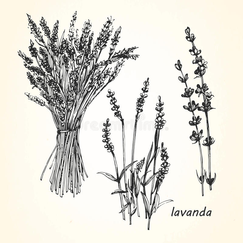 Hand-drawn απεικόνιση Lavender ελεύθερη απεικόνιση δικαιώματος