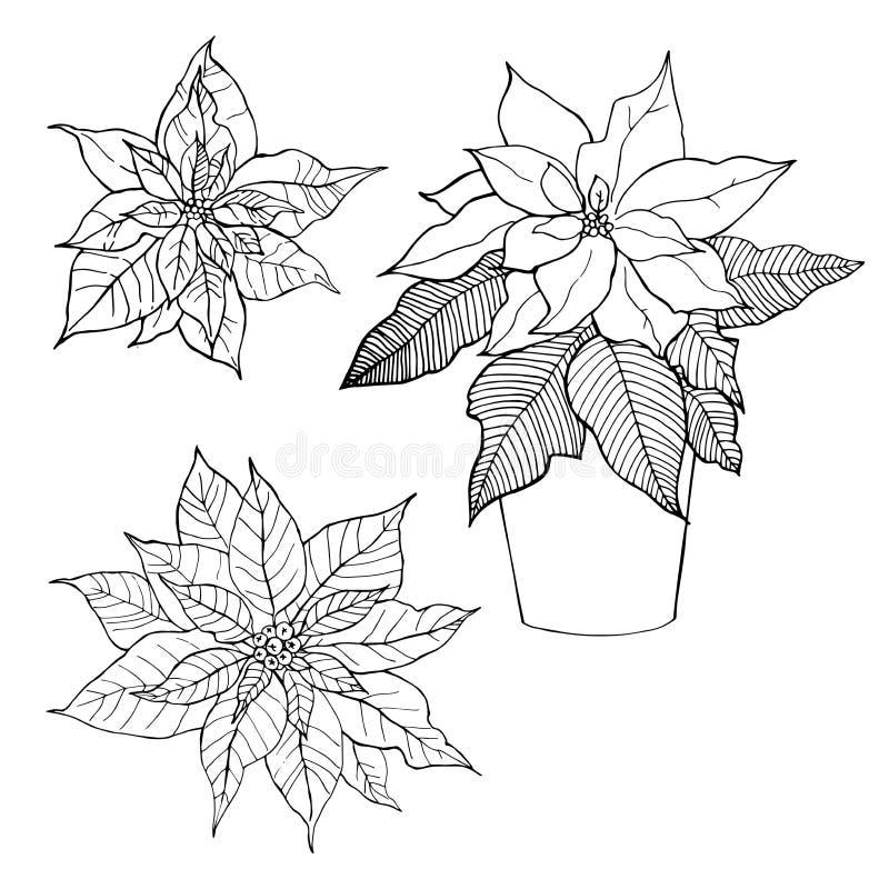 Hand-drawn λουλούδια Poinsettia, αστέρι Χριστουγέννων διανυσματική απεικόνιση