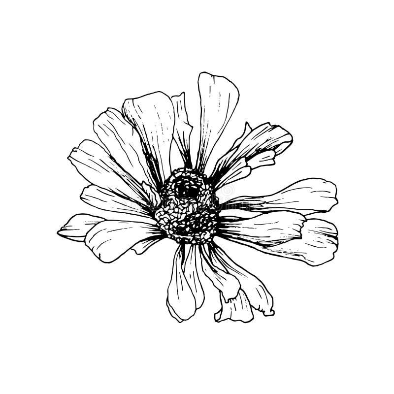 Hand-drawn σκίτσο λουλουδιών Helenium Autumnale Απομονωμένο διανυσματικό στοιχείο σχεδίου για τη χάραξη ή τη χαρακτική απεικόνιση αποθεμάτων