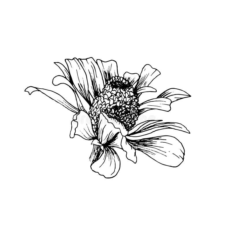 Hand-drawn σκίτσο λουλουδιών Helenium Autumnale Απομονωμένο διανυσματικό στοιχείο σχεδίου για τη χάραξη ή τη χαρακτική ελεύθερη απεικόνιση δικαιώματος