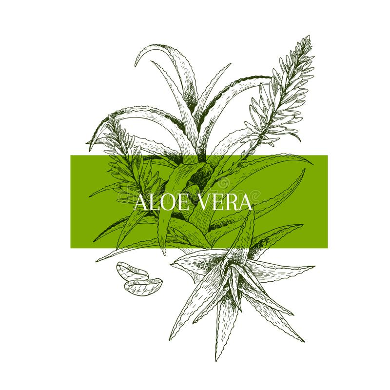 Hand drawn aloe vera branch and flower. Engraved vector banner. healing. Food ingredient, aromatherapy, cooking. For royalty free illustration