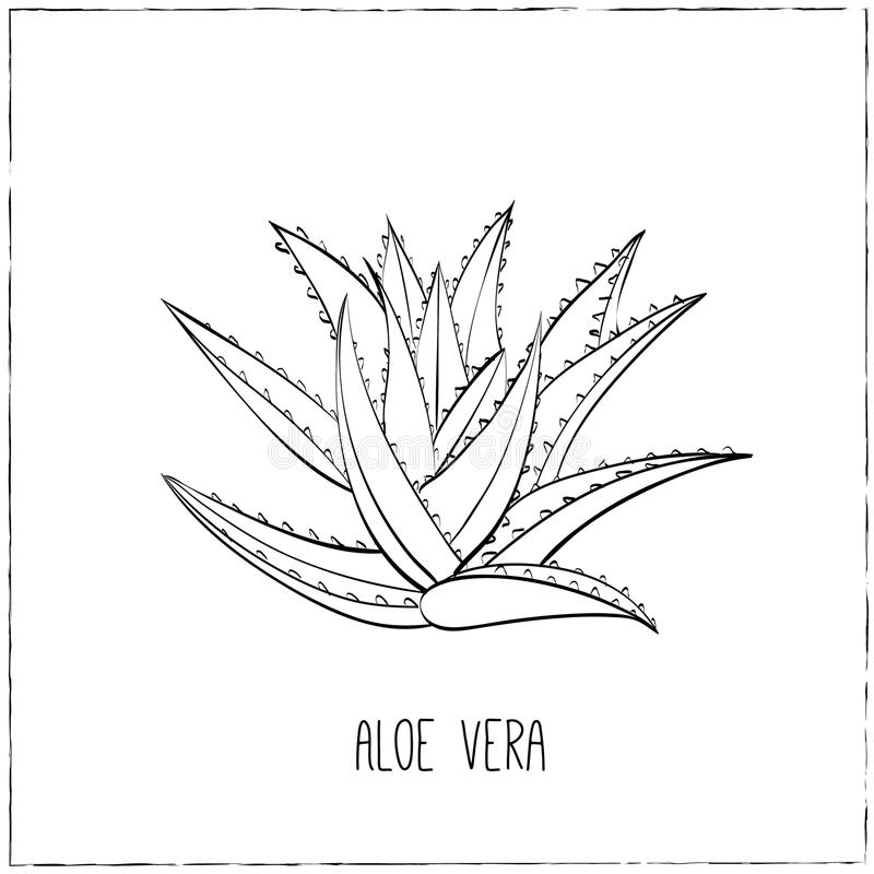Hand-drawn Aloe Vera. vector illustration