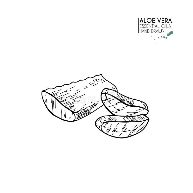 Hand drawn aloe vera slices. Engraved vector illustration. Medical, cosmetic plant. Moisturizing serum, healthcare. Good stock illustration