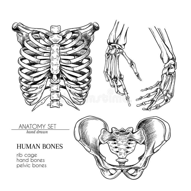 Hand drawn anatomy set. Vector human body parts, bones. Hands, rib cage or ches, pelvic bones. Vintage medicinal vector illustration