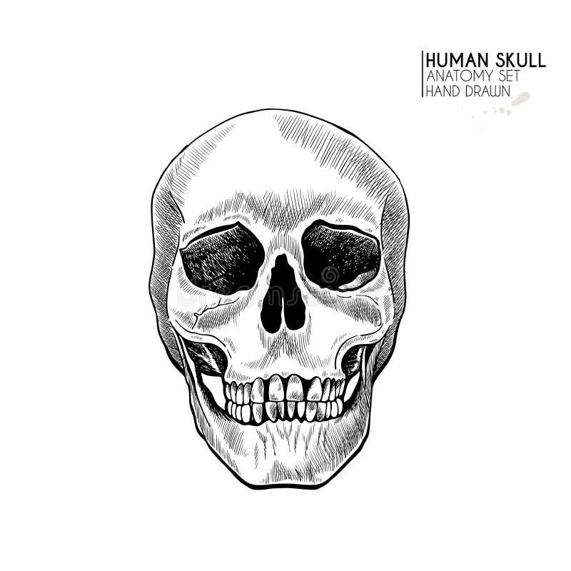 Hand drawn anatomy set. Vector human body parts, bones. Skull frontal view. Vintage medicinal illustration. Use for vector illustration