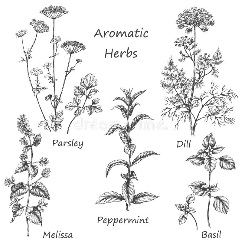 Hand drawn aromatic herbs. Hand drawn floral elements. Aromatic herbs set. Sketch of medicinal fragrant plants and spices. Monochrome image of dill, mint vector illustration