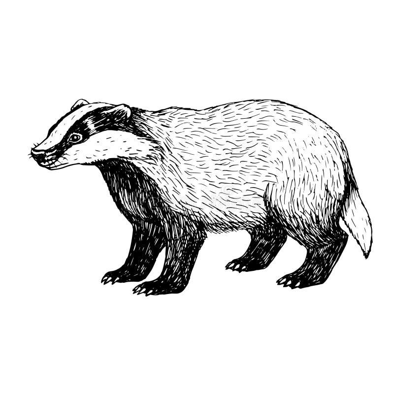 Hand drawn badger. Vintage style. royalty free illustration