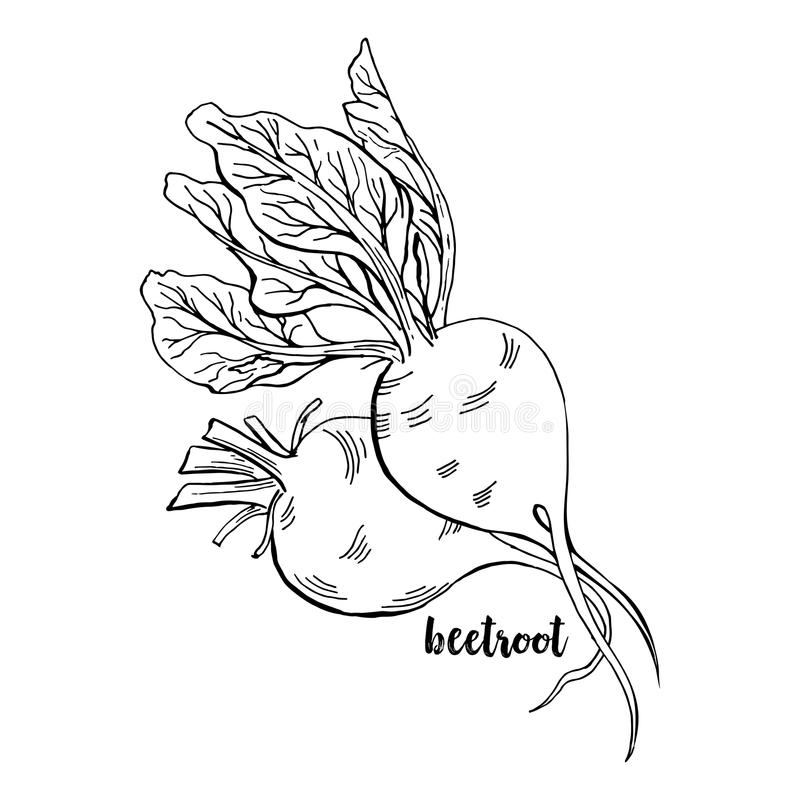 Hand drawn Beetroots. Isolated Beet Roots With Leaves Vegetable for Thanksgiving Harvest Design. Fresh Superfood Vector Illustration stock illustration