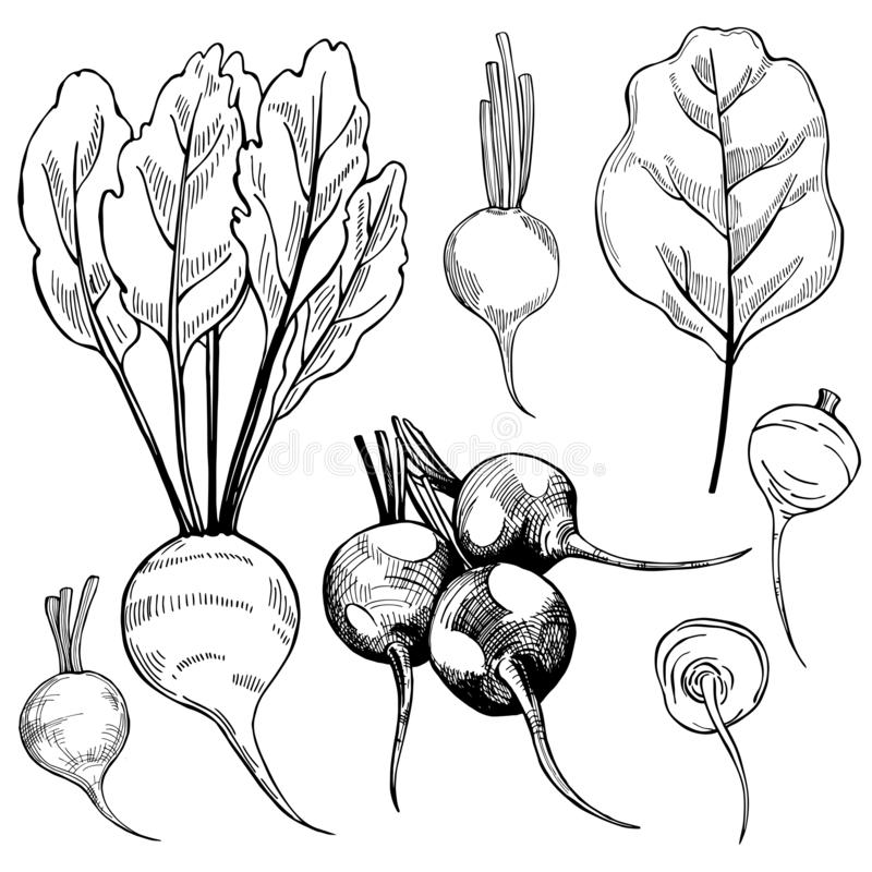 Hand drawn beetroots. Vector sketch  illustration. Hand drawn beetroots on white background.  Vector sketch  illustration stock illustration
