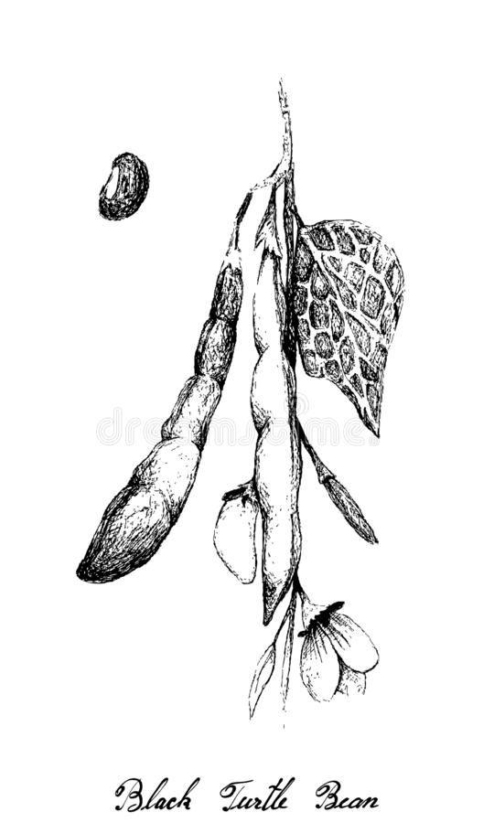 Hand Drawn of Black Turtle Bean on White Background. Hand Drawn Illustration of Phaseolus Vulgaris or Black Turtle Bean Plant and Pods, Good Source of Dietary stock illustration