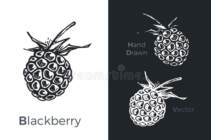 Hand drawn blackberry icons set isolated on white and black chalk background. Sketch of fruits for packaging and menu design. Vintage vector illustration stock illustration