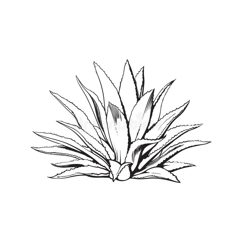 Hand drawn blue agave, main tequila ingredient. Sketch style vector illustration isolated on white background. Drawing black and white of agave cactus, side vector illustration