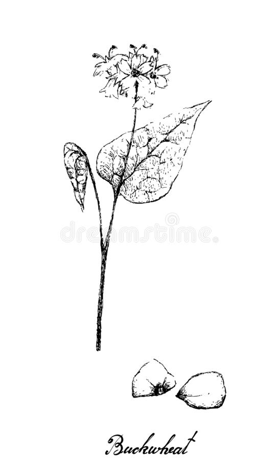 Hand Drawn of Buckwheat on White Background. Vegetable and Herb, Illustration of Hand Drawn Sketch Fagopyrum Esculentum or Buckwheat and Seed Plant Isolated on A vector illustration