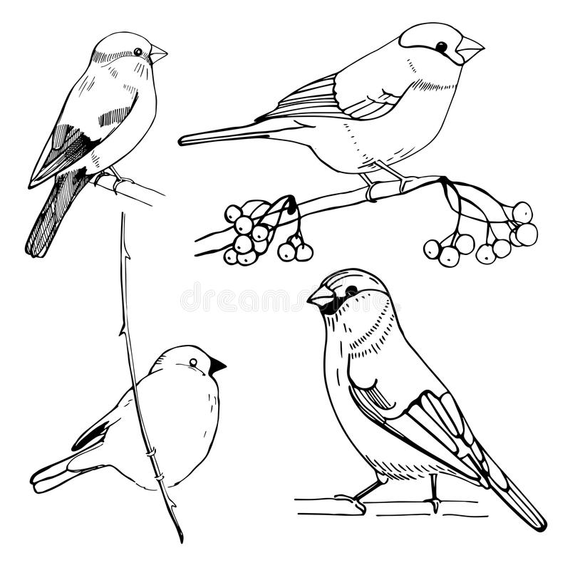 Hand-drawn bullfinch. Vector sketch illustration. Line drawing of birds on a white background royalty free illustration