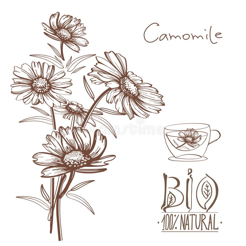 Hand drawn camomile flowers vector illustration stock image