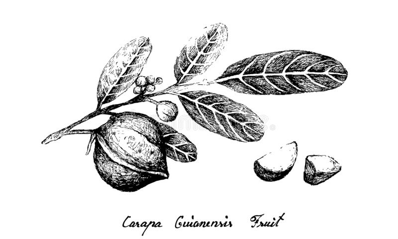 Hand Drawn of Carapa Guianensis Fruit on A Branch. Illustration Hand Drawn Sketch of Carapa Guianensis, Andiroba or Crabwood Fruits on A Tree, Good Source of royalty free illustration