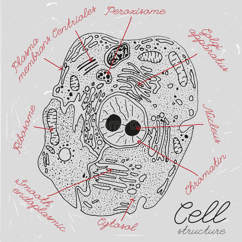 Hand Drawn Cell stock vector. Illustration of mitochondria ...