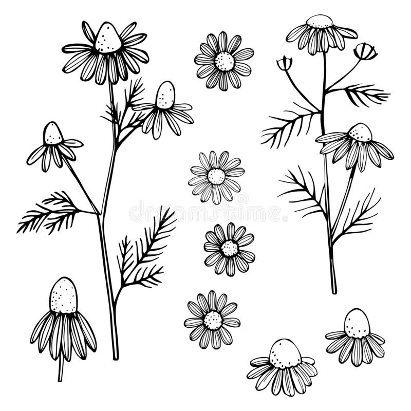 Hand drawn chamomile flowers. On white background . Vector sketch illustration vector illustration
