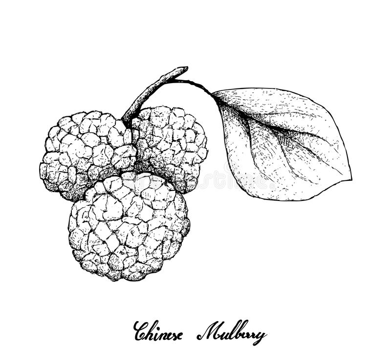 Hand Drawn of Chinese Mulberries on White Background stock illustration