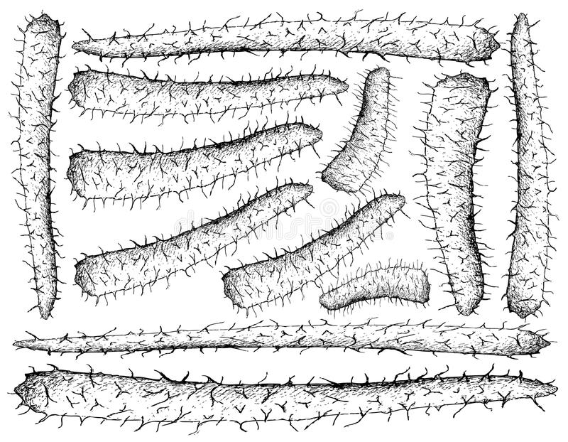 Hand Drawn of Chinese Yam on White Background stock illustration