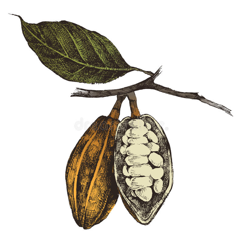Hand drawn cocoa beans royalty free illustration