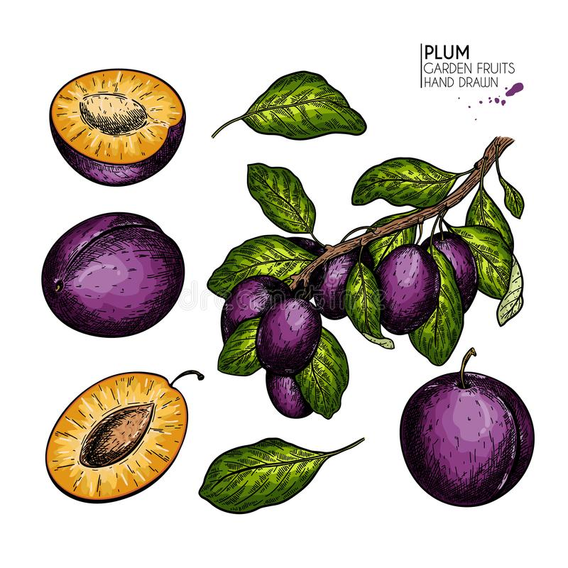 Hand drawn colored plum, half, leaves and branch. Vector engraved illustration. Juicy natural fruit. Food healthy. Ingredient. For cooking, cosmetic package royalty free illustration