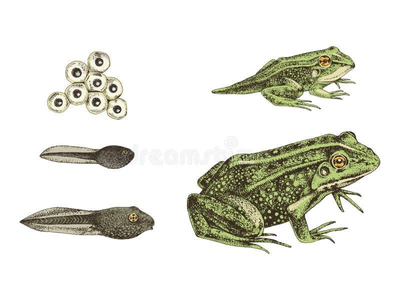 Hand drawn colorful frog metamorphosis. Frog metamorphosis. 5 stages of frogs life cycle. Hand drawn colorful vector illustration vector illustration