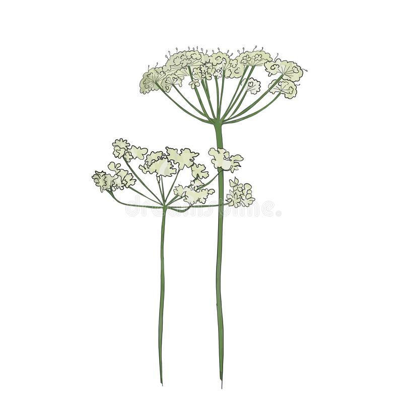 Hand drawn cow parsley royalty free illustration
