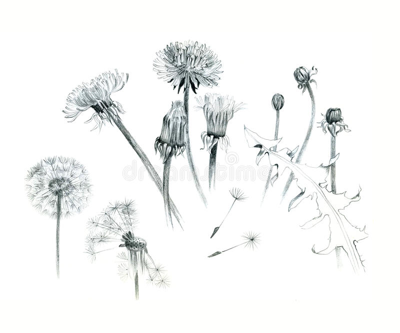 Hand-drawn dandelions, illustration, graphite, isolated on white background. Different stages of a dandelion. royalty free illustration