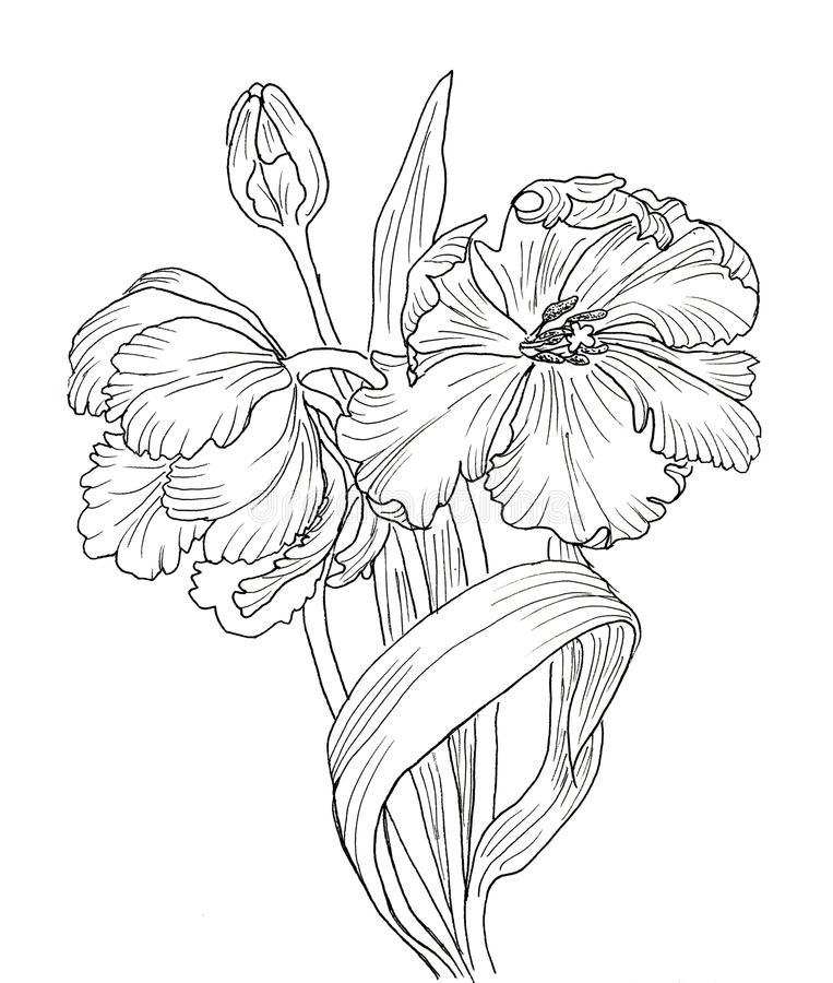 download hand drawn decorative tulips for your design stock illustration image 62589031