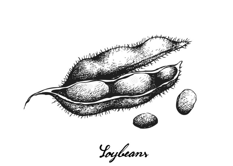 Hand Drawn of Delicious Fresh Green Soybeans. Vegetable and Fruit, Illustration of Hand Drawn Sketch Fresh Green Soybean or Edamame Pods Isolated on White vector illustration