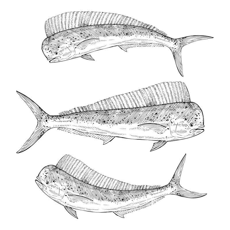 Hand drawn Dolphinfish. Hand drawn illustration of a Dolphinfish (Mahi Mahi vector illustration