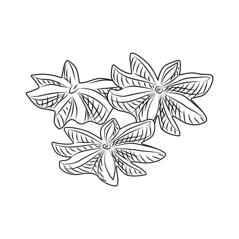 Hand drawn dry anise isolated on white background stock illustration