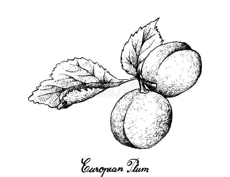Hand Drawn of European Plum Fruits on White Background. Exotic Fruits, Illustration Hand Drawn Sketch of Fresh European Plum or Prunus Domestica Fruits Isolated stock illustration