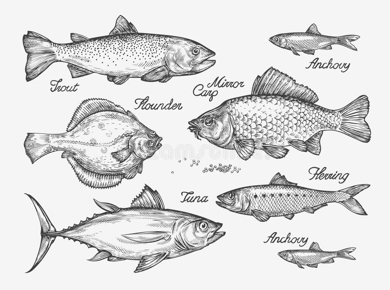 Hand drawn fish. Sketch trout, carp, tuna, herring, flounder, anchovy. Vector illustration. Hand-drawn fish. Sketch trout, carp, tuna, herring flounder anchovy royalty free illustration