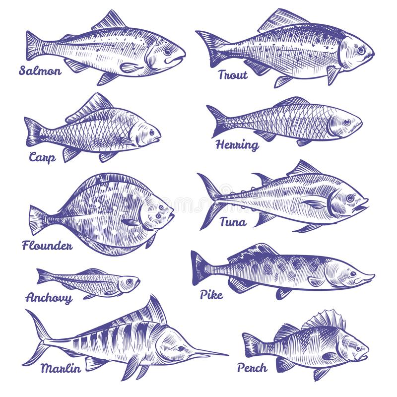 Hand drawn fishes. Ocean sea river fishes sketch fishing seafood herring tuna salmon anchovy trout perch pike. Vector collection royalty free illustration