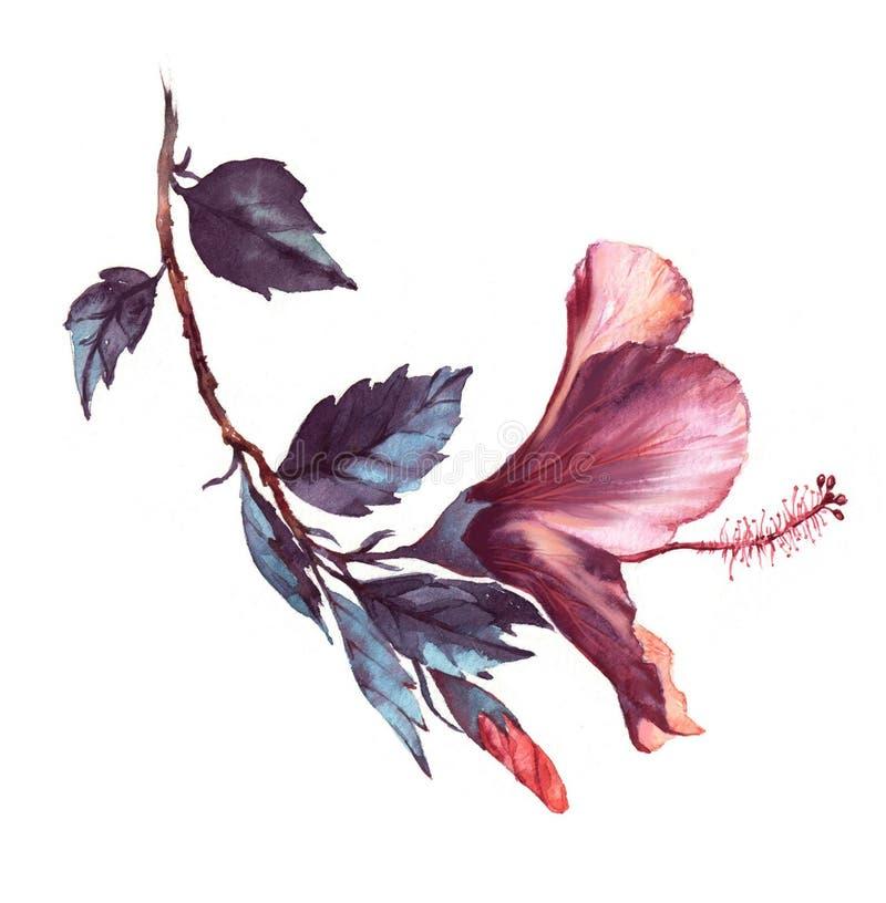 Hand-drawn floral απεικόνιση watercolor του τρυφερού λευκού με το ρόδινο hibiscus λουλούδι ελεύθερη απεικόνιση δικαιώματος