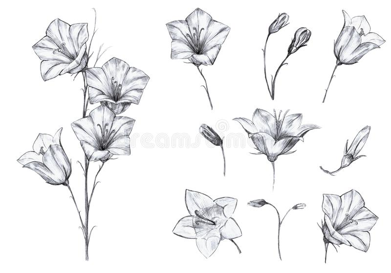 Hand drawn floral set of isolated objects with graphic bluebell flowers, stem, buds on white background. Hand drawn floral set of isolated objects with graphic vector illustration