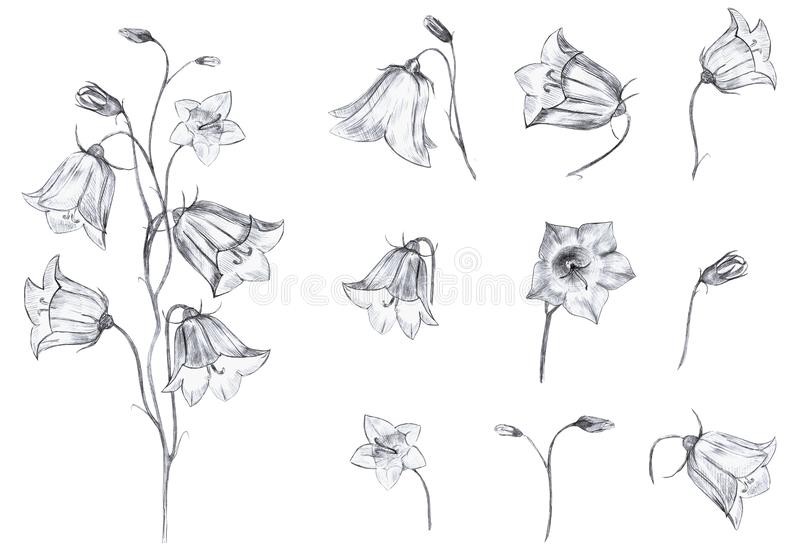 Hand drawn floral set of isolated objects with graphic bluebell flowers, stem and buds on white background. Hand drawn floral set of isolted objects with graphic vector illustration
