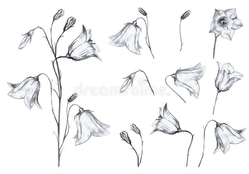 Hand drawn floral set of isolted objects with graphic bluebell flowers and buds on white background. Hand drawn floral set of isolted objects with graphic vector illustration