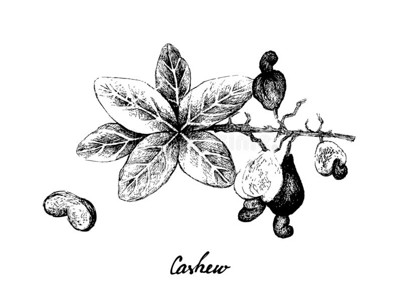 Hand Drawn of Fresh Cashew Nut on A Plant. Illustration of Hand Drawn Sketch Fresh Cashew Nut on A Branch with Roasted Cashew Nuts, Good Source of Dietary Fiber stock illustration