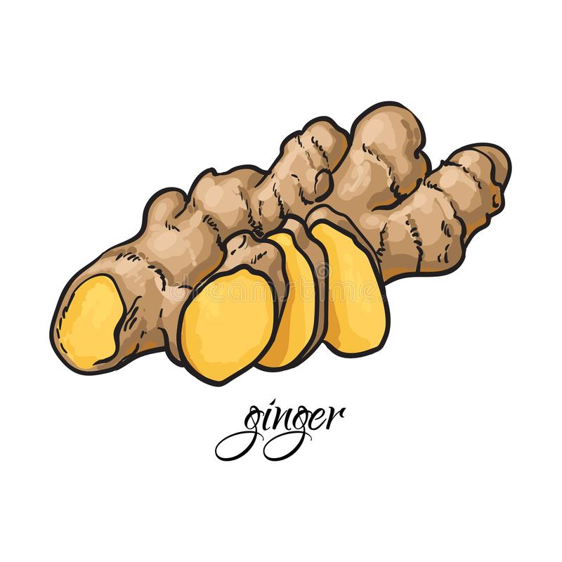 Hand drawn fresh ginger root with caption. Sketch style vector illustration on white background. Realistic hand drawing of whole fresh ginger root with caprion royalty free illustration