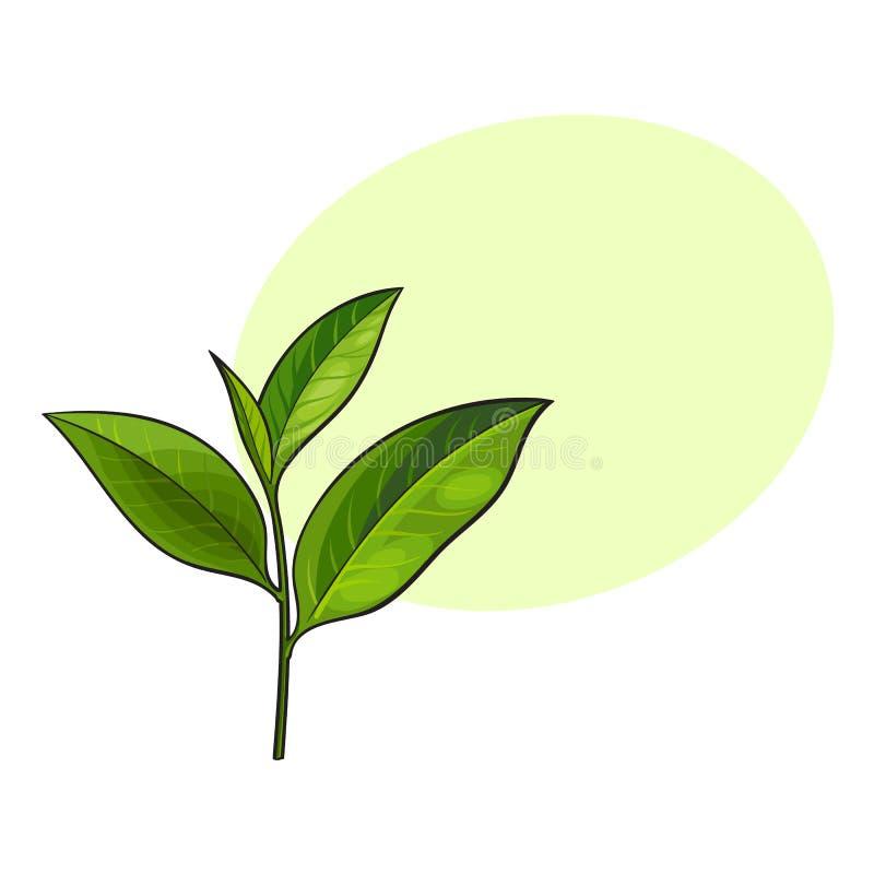 Hand Drawn Fresh Green Tea Leaf Stock Illustration
