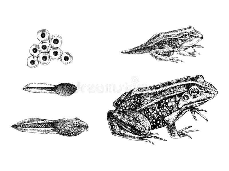 Hand drawn frog metamorphosis. Frog metamorphosis. 5 stages of frogs life cycle. Hand drawn vector illustration stock illustration