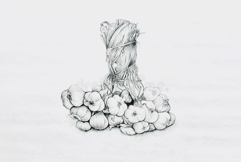 Hand Drawn of Garlic on White Background. Bulb & Stem Vegetable, Illustration of Hand Drawn Sketch of A Dried Garlic Bulb Used for Seasoning in Cooking on White stock illustration